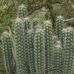 GEOPONICS Orgue CACTU semences (tenocereu Grieu) 20 + semence